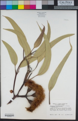Eucalyptus erythrocorys image