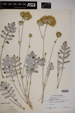 Centaurea cineraria image