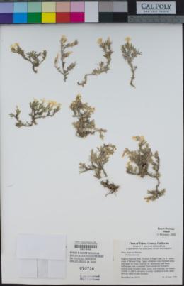 Phlox dispersa image