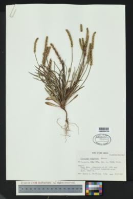 Plantago argyraea image