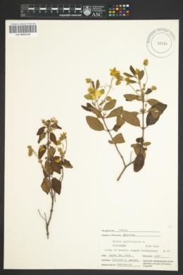 Image of Cistus salviifolius