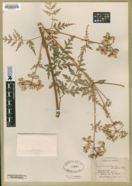 Prionosciadium madrense image