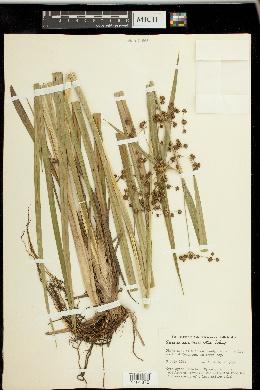 Image of Scirpus ancistrochaetus