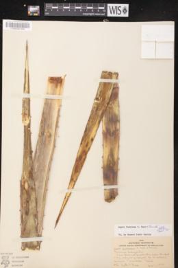 Image of Agave funkiana