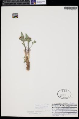 Cymopterus constancei image