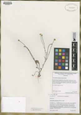 Image of Pseudobahia bahiifolia