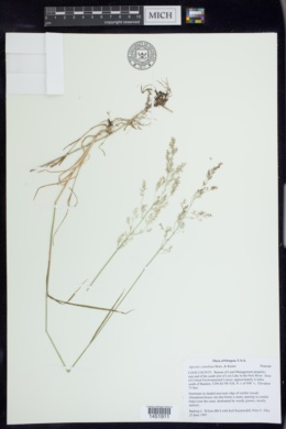 Agrostis castellana image