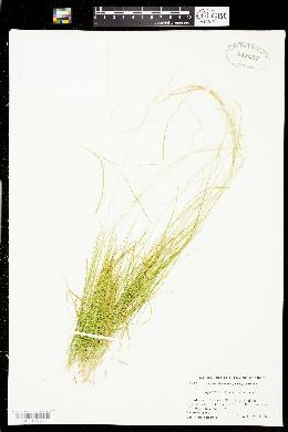Agrostis humilis image