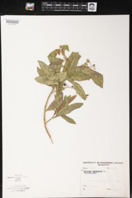 Solanum bahamense image