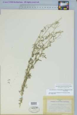 Descurainia obtusa image