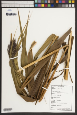 Phragmites australis subsp. australis image