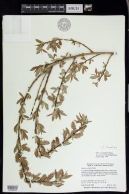Image of Salix famelica