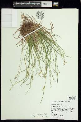 Image of Carex breviculmis
