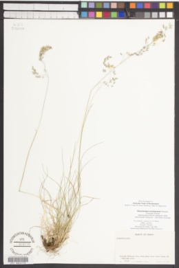 Deschampsia sukatschewii image