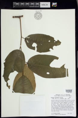 Prunus cortapico image
