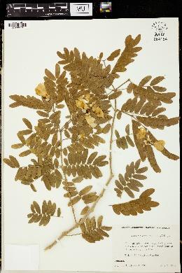Image of Bulnesia arborea