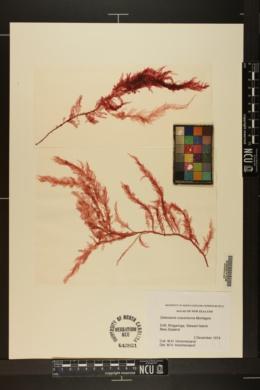 Paraglossum crassinervium image