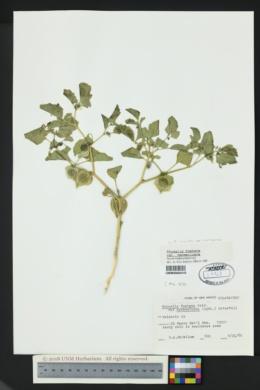 Physalis subulata image