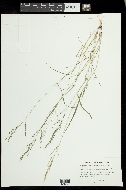 Eragrostis pectinacea image