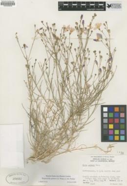 Bryantiella palmeri image