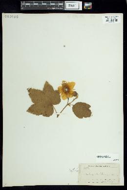 Image of Rubus nutkanus