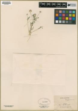 Astragalus didymocarpus var. dispermus image