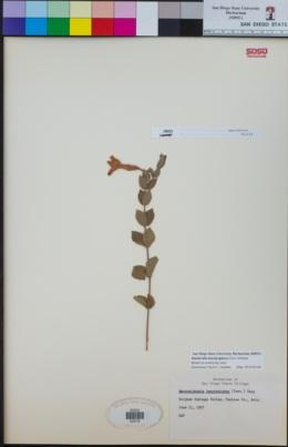 Mandevilla brachysiphon image