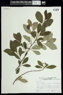 Pyrus melanocarpa image