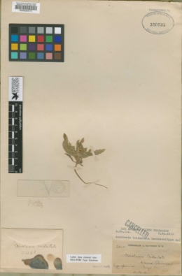 Image of Acrolasia tridentata
