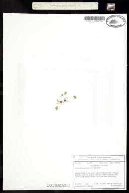 Image of Saxifraga hyperborea