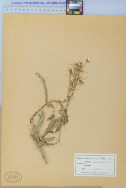 Lactuca tatarica var. pulchella image