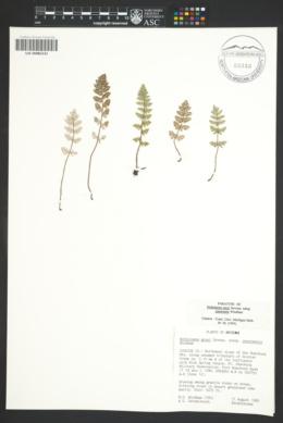Notholaena grayi subsp. sonorensis image