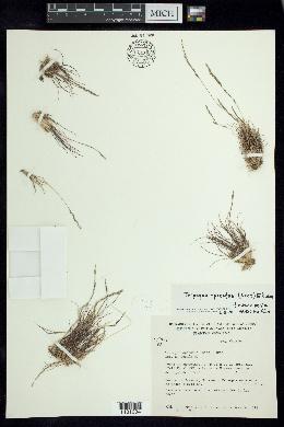Image of Tripogon spicatus