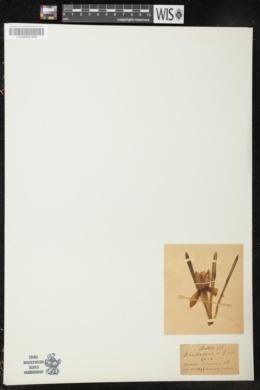 Crocus vernus image