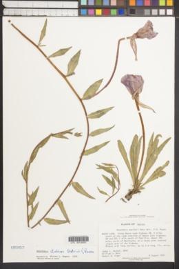 Image of Oenothera stubbei