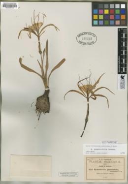 Hymenocallis graminifolia image