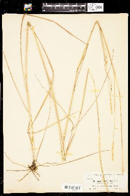 Image of Elionurus tripsacoides