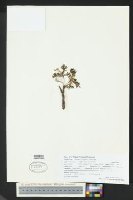 Phemeranthus brevicaulis image