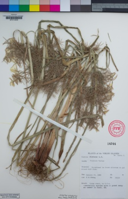 Image of Cyperus distans