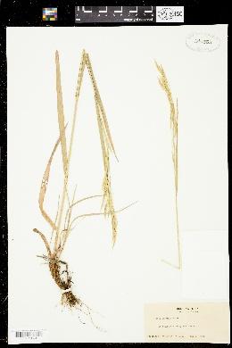 Bromus laevipes image