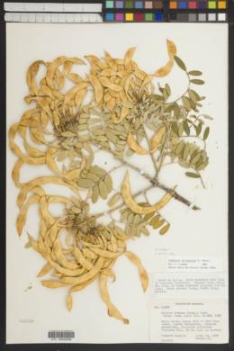 Dermatophyllum arizonicum image