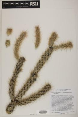 Cylindropuntia ganderi image