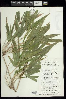 Image of Chusquea nelsonii