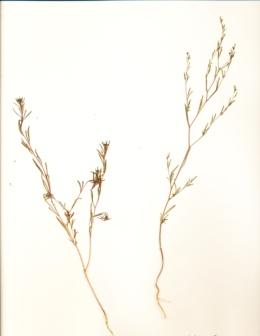 Gayophytum heterozygum image