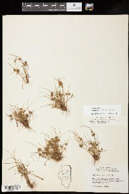 Cyperus squarrosus image