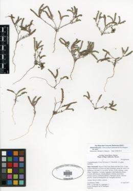 Johnstonella grayi image