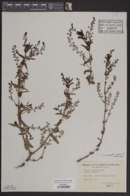 Image of Veronica grandiflora