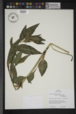 Aconogonon phytolaccifolium image