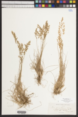 Image of Poa x multnomae
