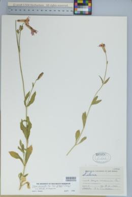 Silene laciniata subsp. greggii image